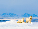 Rare White Wolves of Ellesmere Island
