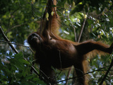 A Female Orangutan  Pongo Pygmaeus  Dangling in a Tree