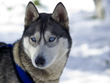 The Alert Ears and Bright Blue Eyes of a Siberian Husky Sled Dog
