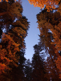 Giant Redwood Trees known as Crown Jewel and the Beast