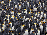 Adult King Penguins Pack Together Against a Blizzard