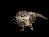 River Otter  Lontra Canadensis