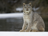 Canada Lynx (Lynx Canadensis) Sitting in the Snow  Kalispell  Montana