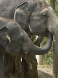 Young Asian Elephant Tries to Drink Water from Adult Female's Mouth
