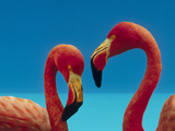 Greater Flamingo (Phoenicopterus Ruber) Courting Pair  Caribbean Species