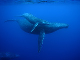 Humpback Whale (Megaptera Novaeangliae) Mother and Calf  Ogasawara Island  Japan