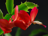 Close Up of a Christmas Cactus  Schlumbergera Truncatus  in Bloom