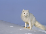 A White Arctic Fox (Alopex Lagopus) Blends with the Snowy Landscape