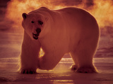 A Polar Bear Hunts in -40 Celsius Temperatures at 3 AM