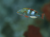 A Colorful Flasher Wrasse