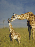 Masai Giraffe (Giraffa Camelopardalis Tippelskirchi) Mother and Young  Kenya