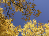 Skyward View of Aspen Tree Leaves in Full Fall Color