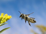 Leafcutter Bee (Megachile Sp) Flying Towards a Goldenrod (Solidago Sp) Flower  North America