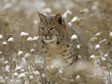 Bobcat (Lynx Rufus) Camouflaged in Snowy Meadow  Montana