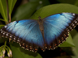 Portrait of a Beautiful Blue Butterfly