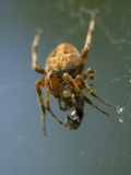 Orb Weaving Spider Feeds on Prey in it's Web