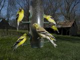 American Goldfinches  Spinus Tristis  Eating from a Bird Feeder