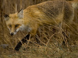 A Red Fox  Vulpes Vulpes  Moving Through Tall Weeds