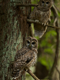 Threatened Northern Spotted Owls in a Redwood Forest