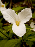 The Trillium Flower  the Official Flower of the Province of Ontario