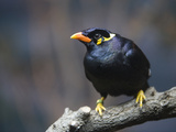 An Indian Hill Myna  Gracula Religiosa  at the San Antonio Zoo