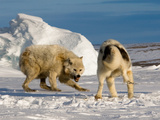 An Arctic Wolf Squares Off with a Sled Dog