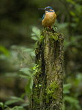 Adult Male Common Kingfisher  Alcedo Atthis  on a Mossy Tree Trunk
