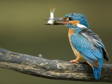 Adult Male Common Kingfisher  Alcedo Atthis  Perches Holding a Fish