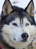 An Alert Siberian Husky Sled Dog with Both a Blue and a Brown Eye
