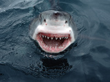 Great White Shark (Carcharodon Carcharias) Close-Up  South Australia
