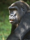 Portrait of an Endangered Western Lowland Mountain Gorilla
