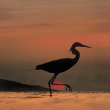 Little Egret (Egretta Garzetta) Silhouetted at Sunset  Africa