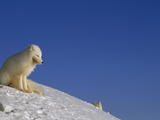 A White Arctic Fox (Alopex Lagopus) Sits Atop a Knifelike  Icy Ridge