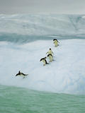 Adelie Penguin (Pygoscelis Adeliae) Group Diving into Sea  Dumont D'Urville  East Antarctica