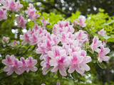 Pink Rhododendron Flowers in Piedmont Park  Atlanta