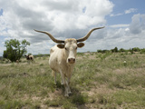 A Texas Longhorn Steer on a Texas Ranch