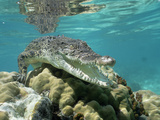 Saltwater Crocodile or Estuarine Crocodile (Crocodylus Porosus) Underwater  South Australia