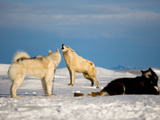 An Arctic Wolf Howls with Sled Dogs