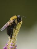 Bumblebee  Bombus Americanorum  on a Perennial Flower Spike