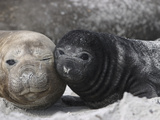 Southern Elephant Seal (Mirounga Leonina) Mother and Pup  Falkland Islands