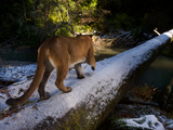A Remote Camera Captures a Cougar Crossing a Snow Dusted Fallen Log