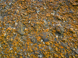 Orange Lichens Grow on the Rough Surface of a Granite Boulder