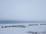 A Reindeer Caravan Herded by the Last Nomadic Komi Clan on the Tundra