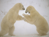 Polar Bear (Ursus Maritimus) Two Males Sparring  Churchill  Manitoba  Canada