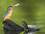Adult Female Common Kingfisher with a Common Rudd and a Pond Turtle