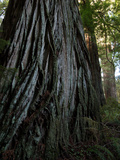 A Giant Redwood Tree in a Secret Location Called the Grove of Titans