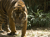 Endangered Captive Male Sumatran Tiger  Panthera Tigris Sumatrae