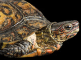 A Painted Wood Turtle  Rhinoclemmys Pulcherrima