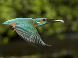 Adult Male Common Kingfisher  Alcedo Atthis  with a Topmouth Gudgeon