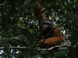 A Large Male Orangutan  Pongo Pygmaeus  Rests in a Tree
